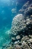 коралловый риф с большим porites кораллов в нижней части тропического моря — Стоковое фото