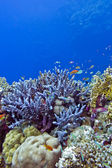 Coral reef with blue hard corals at the bottom of tropical sea — Stock Photo