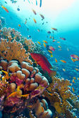 Coral reef with red exotic fish cephalopholis at the bottom of tropical sea — Stock Photo