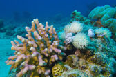 Coral reef with hard and soft corals at the bottom of tropical sea — Stock Photo