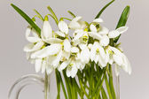 A lot of snowdrops in glass vase isolated on white background — Stock Photo