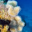 Coral reef with beautiful white soft coral at the bottom of tropical sea — Stock Photo