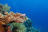 Coral reef with hard coral and exotic fishes at the bottom of tropical sea — Stock Photo