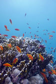 Coral reef with hard corals and exotic fishes anthias at the bottom of tropical sea — Stock Photo