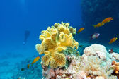 Coral reef with great yellow soft coral at the bottom of tropical sea — Stock Photo