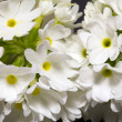 Isolated white  primula denticulata close up — Stock Photo