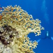 Coral reef with yellow fire coral and diver at the bottom of tropical sea - Stock Photo