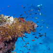 Coral reef with stony coral and diver at the bottom of tropical sea — Stock Photo