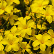 A lot of blooming yellow flowers of linum flavum in the garden — Stock Photo