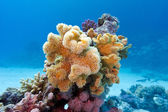 Coral reef with yellow soft coral sarcophyton at the bottom of tropical sea on blue water background — Stock Photo