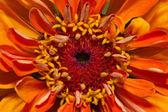 Single flower of orange zinnia - close up — Stock Photo