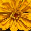Single flower of yellow zinnia isolated on black background - close up — Stock Photo
