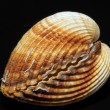 Stock Photo: Single double seashell of bivalviisolated on black background