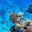 Coral reef with soft and hard corals with exotic fishes anthias on the bottom of tropical sea on blue water background — Stock Photo #31143439
