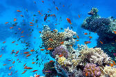Coral reef with soft and hard corals with exotic fishes anthias on the bottom of tropical sea on blue water background — Stock Photo