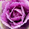 Single flower of violet  brassica oleracea - close up — Stock Photo