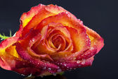 Single frozen flower of rose isolated on a black background - macro — Stock Photo
