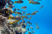Coral reef with shoal of goatfishes at the bottom of tropical sea on blue water background — Stock Photo