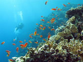 Coral reef with divers and exotic fishes anthias at the bottom of tropical sea — Stock Photo