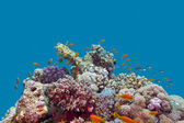 Coral reef and fishes anthias at the bottom of tropical sea on blue water background — Stock Photo