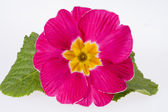 Beautiful  spring flowers of pink primula -close up — Stock fotografie
