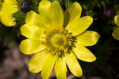 Spring flower of adonis vernalis in the garden closeup — Stock Photo