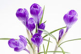 Some  flowers of violet crocus isolated on white background — Stock Photo