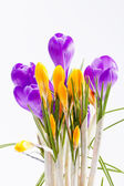 Violet and yellow spring flowers of crocus isolated on white background — Stock Photo