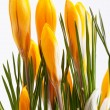 Some flowers of yellow crocus isolated on white background — Stock Photo #43521263