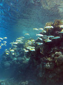 Coral reef with shoal of goatfishes and hard corals at the bottom of tropical sea on blue water background — Stock Photo