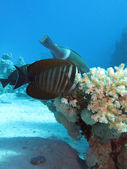 Red Sea sailfin tang with coral reef at the bottom of tropical sea on blue water background — Stock Photo
