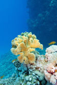 Coral reef with great yellow soft coral at the bottom of tropical sea on blue water background — Стоковое фото