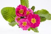 Beautiful  spring flowers of pink primula -close up — Foto de Stock