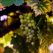 Stock Photo: 00339 - Grapes on vine