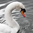 Stock Photo: Swan of the silver lake - Swan Portrait