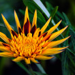 Apache Gazania - Decorative flower — Stock Photo