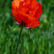 Single poppy flower in the field — Stock Photo
