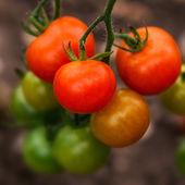 Tomato on the Vine — Stock Photo
