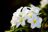 Bunch of fragrant frangipani or plumerie tropical flowers — Stock Photo