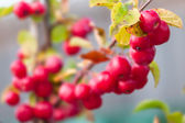 Crab-apple - Malus - Red sentinel — Stock Photo