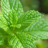 Mint Plant - Tea and herb, Square composition — Stock Photo