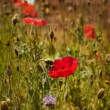 Foto Stock: Poppy field square composition daylight