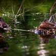Stock Photo: Male and female duck care for their eggs in their nest