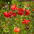 Wild Poppies on the field — Stock Photo
