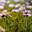 Daisies on the field - close-up low view point — Stock Photo