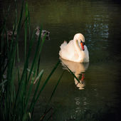Graceful Swan sunbathing outdoors in the park — Stock Photo