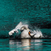 Wild swan taking a morning bath in the lake — Stockfoto