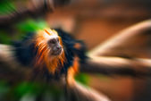 Tamarin golden monkey portrait zoom effect — Stock Photo