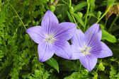 Beautiful flower( Platycodon grandiflorus) — Stock Photo