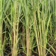 Stock Photo: Seedling of lemon grass.